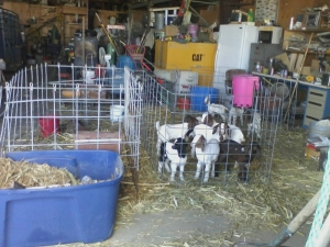 Goats bottle fed babies